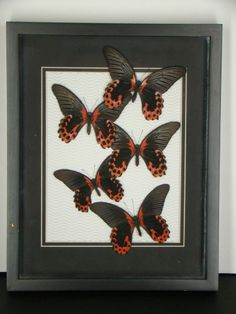 Real Butterfly Papilio Rumanzovia Swallowtail Matted Textured Background Frame