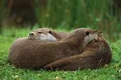European River Otter Lutra Lutra Photograph by Ingo Arndt ...