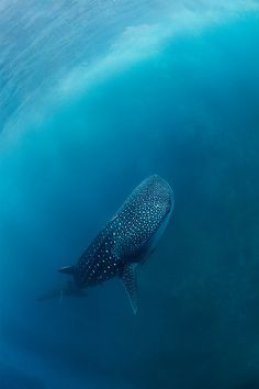 Whale Shark | by:(Нарчук Андрей)