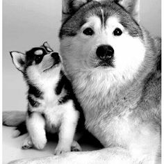 @Regrann from @huskies_unlimited  -  🙃 _ _  #Husky #HuskyPuppy #HuskysOfInstagram #HuskyPicOfTheDay #HuskyOfInstaGram #HuskyPhotography #HuskyProblems #HuskyLovingClub #HuskyPuppies #HuskyNation #HuskyLovers #HuskyMix #HuskyDog #Dog #Dogs #DogsOfInstagram #DogFilter #DogsAreTheBest #DogLoversOfInstagram #DogDaysOfSummer #DogDailyFeaturesss #DogWalking #DogFashion #DogsOnInstagram #DogsOfficialDog #DogOfInstaGram #DogstaGram #DogsOfTheDay #DogsOfInstaWorld