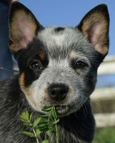 Eatin my greens Cute Puppies, Cute Dogs, Dogs And Puppies, Doggies, Austrailian Cattle Dog, Cute Baby Animals, Dog Pictures, I Love Dogs, Best Dogs