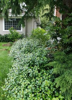 Ribes viburnifolium - Evergreen Currant by pete@eastbaywilds.com, via Flickr