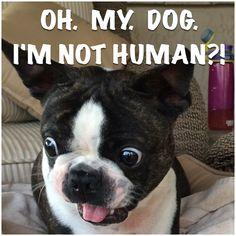 Boston Terrier dog has an epiphany! It's ok, we still love you like a human, and won't ever treat you any differently.  Really, we wish we had more dog qualities. <3 Boston Terrier meme