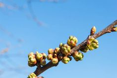 spring buds on the tree blossoming fruit trees
