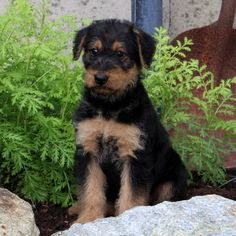 74 Best Airedale Puppies Images Airedale Terrier Fox Terriers