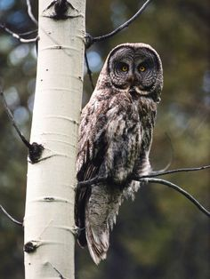 Great Grey Owl Perched in an Aspen Tree in the Daylight