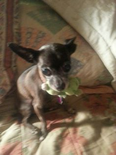 Milly was adopted thru another rescue 8 years ago when she was 1 years old. Now Milly is 9 years old and is in need of another forever home due to the fact that her current owner lost her job and had to move in with her mother who is very allergic...