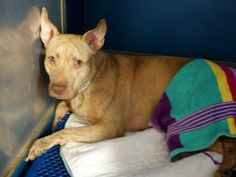 TO BE DESTROYED 10/12/14 Manhattan Center   My name is MAIZE. My Animal ID # is A1016794. I am a female tan and br brindle pit bull mix. The shelter thinks I am about 3 YEARS old.  I came in the shelter as a STRAY on 10/08/2014 from NY 10457, owner surrender reason stated was STRAY.