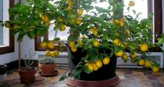When you grow up in the North, the notion of growing citrus seems ridiculous. But it turns out, growing a lemon tree indoors is actually completely… Garden Plants, Indoor Plants, Greenhouse Plants, Vegetable Garden, Organic Gardening, Gardening Tips, Lemon Tree From Seed, How To Grow Lemon, Container Gardening