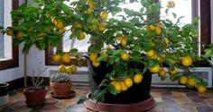 O limão é uma verdadeira farmácia, uma fruta com incrível poder curativo.O leitor do Cura pela Natureza sabe o valor do limão, pois já publicamos aqui muitas receitas com esta maravilhosa fruta.