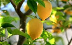 How to grow a lemon tree from Lemon seeds