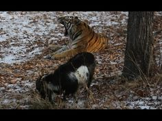 """Tiger & goat: Big cat and 'failed lunch' now BFF in Russian safari park (VIDEOS) — RT News  """"An amazing bond,"""" Mezentsev says. The goat apparently keeps following the tiger everywhere """"like his tail."""""""