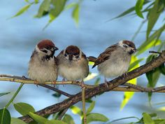 Sooooo lovely and gorgeous birds!! I can even hear them singing!! Praise the Lord! ♫ ♪ ♫ ♪ ♫ ♪