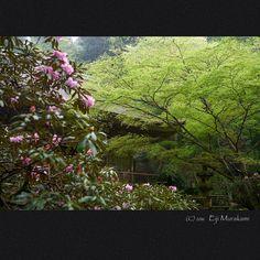 https://flic.kr/p/FTy3Xf   新緑の室生寺   Nara Murou-ji temple , JAPAN , Sony Alpha 7r2 , Sigma 35mm F1.4 DG HSM + MC-11 今年は色々な花が例年と比べて5日から10日ほど早いですね。 ここもゴールデンウィーク前に満開になっちゃいました。 ホンマ勘狂ぅわぁ(-_-)  ところで、、、シグマからSAマウントレンズをソニーEマウントに変換するアダプターが発売されました。 今まではSigma SD1で換算50mm相当として使っていたこのレンズも本来持っている画角で撮影する事が可能になりました。 シグマさん、ありがとう(^^)/