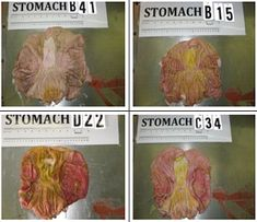 GMO feed turns pig stomachs to mush! Shocking photos reveal severe damage caused by GM soy and corn