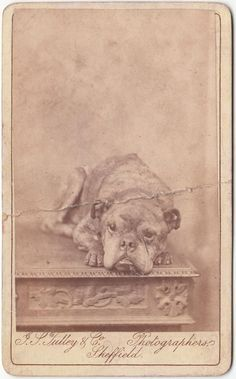 Staffordshire Bull Terrier Dog Pit Bull photo Carte de Visite c1900 a/f | eBay
