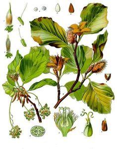 Fagus sylvatica - Köhler–s Medizinal-Pflanzen-060 - Beuk (boom) - Wikipedia