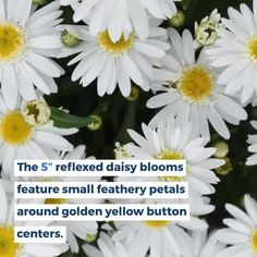 A beautiful perennial with robust, long-lasting blooms and carefree longevity in gardens down to zone 3. Leucanthemums, also known as Shasta Daisies, are used for both cut flowers and garden highlights while also providing food and habitat for many kinds of pollinators. Summer Garden, Home And Garden, Shasta Daisies, Sun And Water, Garden Soil, Plant Needs, Green Plants, Cut Flowers, Organic Gardening