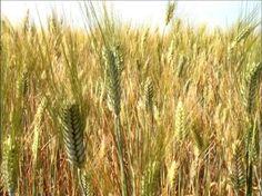Parábola do trigo e do joio