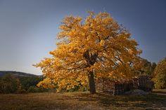 Tree in late autumn. Istria, Croatia, fall, leaves, colour, sunny day, bright colours Istria Croatia, Late Autumn, Bright Colours, Fall Leaves, Sunny Days, Country Roads, Island, Explore, Pictures