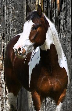 western quarter paint horse paint pinto horse Gypsy Vanner Indian pony