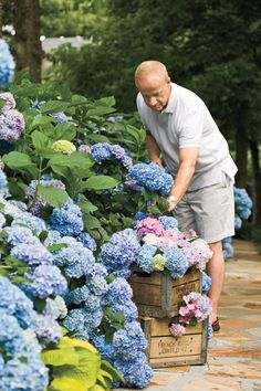 hydrangea garden care garden care vegetable The Grumpy Gardeners Guide to Hydrangeas Smooth Hydrangea, Hydrangea Bloom, Hydrangea Care, Hydrangea Not Blooming, Growing Hydrangea, Hydrangea Plant, Limelight Hydrangea, Hydrangea Colors, White Hydrangeas