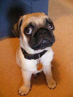 too cute! pug