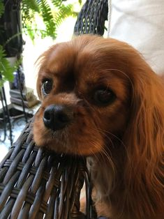 """Explore our internet site for even more info on """"cocker spaniel puppies"""". It is a superb place to find out more. Cavalier King Spaniel, Cavalier King Charles Dog, Cocker Spaniel Puppies, Spaniel Dog, King Charles Spaniel, Spaniels, Puppies And Kitties, Small Puppies, Doggies"""