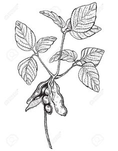 Soy Twig, Engraving Style Drawing Royalty Free Cliparts, Vectors ...