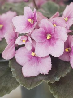 Saintpaulia African Violet  'Smooch Me' purchased at the African Violet show at Missouri Botanical Gardens Apr 2016