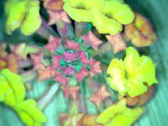 Lantana, flor (Colegio Ntra. Sra. de los Dolores. Águilas-Murcia)