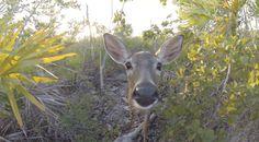 Endangered Florida Key Deer