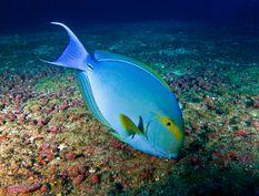 Acanthure à nageoire jaune ou chirurgien pourpre en français, Yellowfin surgeonfish en anglais (Acanthurus xanthopterus en latin)