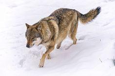 Tibetan Wolf in a hurry