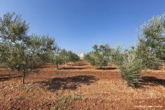 #VENTERRA. #Terra #rossa e #alberi #secolari. #Ciascuna #oliva viene coccolata affinché esprima con pienezza le proprie caratteristiche di #forma, #colore e #sapore