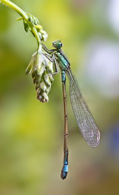 Damselfly Photograph caballin by Xavier Gutierrez on Horse Caballo, Cool Bugs, Dragonfly Art, Dragonfly Quotes, Dragonfly Tattoo, Fotografia Macro, Pond Life, A Bug's Life, Beautiful Bugs