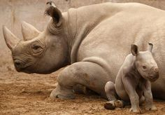 Baby Black Rhinoceros