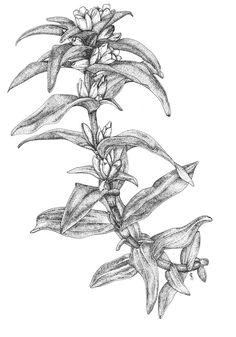 Genciana cruciata. Ilustradora: A. Cristina Losa http://herbanova.es/ilustraciones/