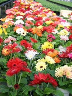 20 best tanaman hias bunga images on pinterest flower gardening google ccuart Images