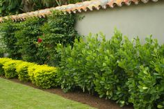 Clusia Hedge Spacing | Clusia, Pitch Apple (hedge row)