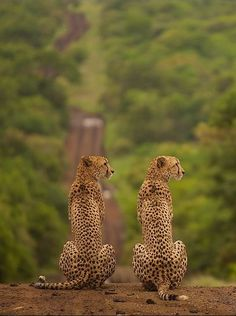 Africa | A pair of Cheetah looking for prey at Thanda private game reserve, Africa. | ©Etienne Oosthuizen.