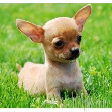 Chihuahua For Sale Chihuahua Puppies Baby Dogs Chihuahua Dogs