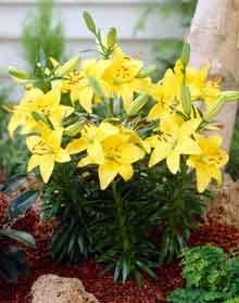 Asiatic Lily - Bright Pixie