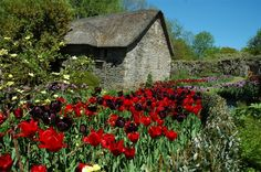 Cottage in Devon England with a sea of red and dark purple/black tulips