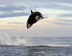 Sopitas.com » Un fotógrafo capta el momento en el que una orca asesina a un delfín