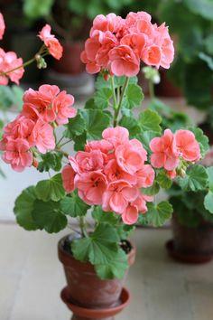 geraniums …