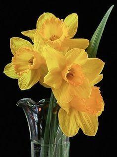 Yellow daffodil flowers via www.Facebook.com/InspiringQuotesWithPennyLee