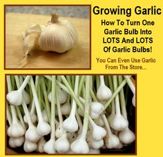 Ok this is fairly simple, but it always surprises me how many people don't know this, and also, how many people don't do it! Garlic is one of the easiest crops to grow, as long as they don't sit in soggy, wet ground, they rarely…