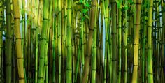 Idea to paint a wooden fence...   Bamboo Murals & Bamboo Forest Wallpaper
