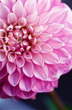 Long-lasting dahlias (Dahlia spp.) burst forth with color in midsummer, and continue blooming well into fall. These Mexico natives grow in U.S. Department of Agriculture plant hardiness zones 7 ...